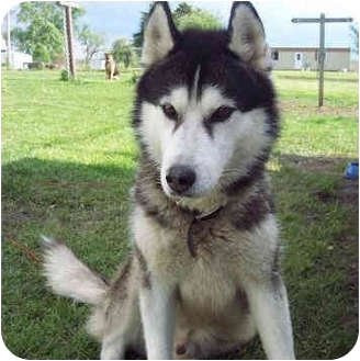 "Siberian Husky Mix Dog for adoption in Various Locations, Indiana - ""Rah is Urgent"""