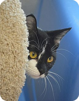 Domestic Shorthair Kitten for adoption in San Leon, Texas - Natalia