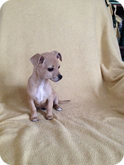 Chihuahua/Papillon Mix Puppy for adoption in Shannon, Georgia - Freddie