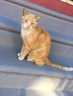 Domestic Shorthair Cat for adoption in Newfield, New Jersey - Brian