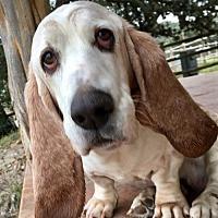 Adopt A Pet :: Noodle - Houston, TX