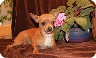 Chihuahua Mix Puppy for adoption in Greenwich, Connecticut - Uno