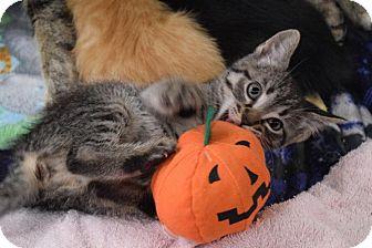 Domestic Shorthair Kitten for adoption in Chicago, Illinois - Amie