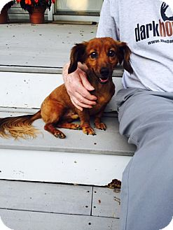 Dachshund Dog for adoption in Barnegat, New Jersey - Ace