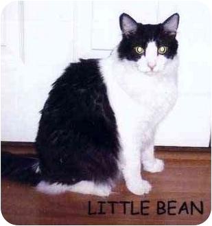 Domestic Longhair Cat for adoption in Yorba Linda, California - Little Bean