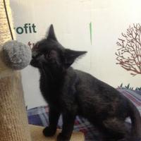 Adopt A Pet :: Comet - Salem, OH