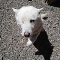 Adopt A Pet :: Koda - Rio Rancho, NM