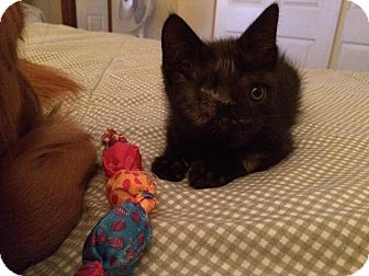Domestic Shorthair Kitten for adoption in Seville, Ohio - Julia