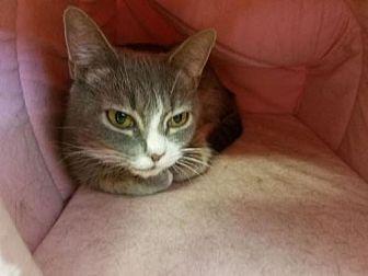 Domestic Shorthair Cat for adoption in Asheville, North Carolina - Claudia