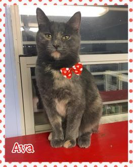 Domestic Shorthair/Domestic Shorthair Mix Cat for adoption in Jasper, Indiana - Ava