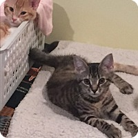 Domestic Shorthair Kitten for adoption in Nanuet, New York - Flower and Sassy