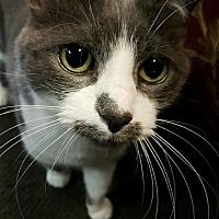 Adopt A Pet :: Cupcake - Delmont, PA