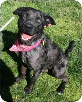 Catahoula Leopard Dog Mix Dog for adoption in Auburn, California - Ben
