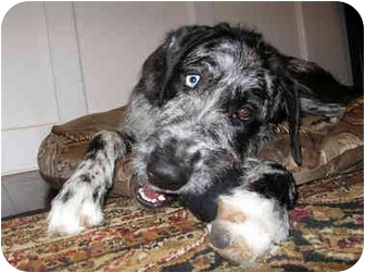 Alfey Adopted Puppy Hanover Md Great Dane Irish Wolfhound Mix