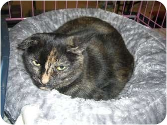 Domestic Shorthair Cat for adoption in Chesapeake, Virginia - Sweetie