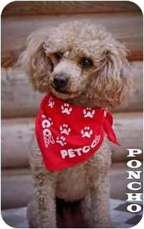 Poodle (Toy or Tea Cup) Dog for adoption in Kokomo, Indiana - Poncho