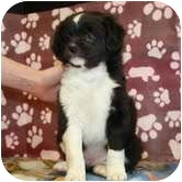 Border Collie Mix Puppy for adoption in Plainfield, Illinois - Daffodil
