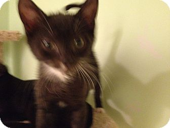 Domestic Shorthair Kitten for adoption in East Hanover, New Jersey - Nibbles