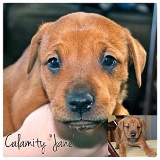American Bulldog/American Pit Bull Terrier Mix Puppy for adoption in Garden City, Michigan - Jane