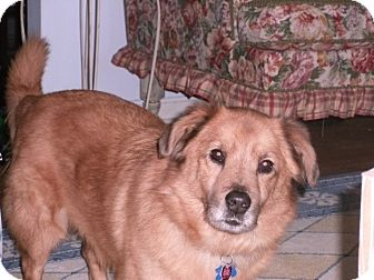 Golden Retriever Mix Dog for adoption in Hagerstown, Maryland - Bennie