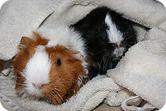 Guinea Pig for adoption in Pittsburgh, Pennsylvania - Mocha & Cappuccino