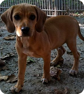 Beagle Mix Puppy for adoption in North Brunswick, New Jersey - Benny
