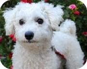 Poodle (Miniature)/Maltese Mix Dog for adoption in Encino, California - Tiki Coconut