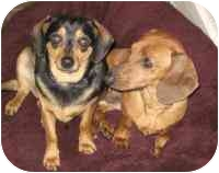 Dachshund/Chihuahua Mix Dog for adoption in Warren, New Jersey - Daddy and Fatty