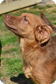 Golden Retriever/Nova Scotia Duck-Tolling Retriever Mix Dog for adoption in New Canaan, Connecticut - Legend