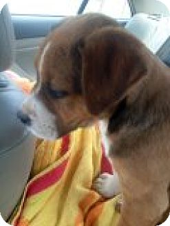 Boxer/Australian Shepherd Mix Puppy for adoption in Murrieta, California - Lainy