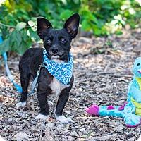 Adopt A Pet :: Gizmo - Calgary, AB