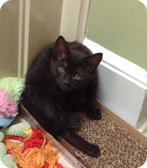 Domestic Shorthair Kitten for adoption in Knoxville, Tennessee - Maci H