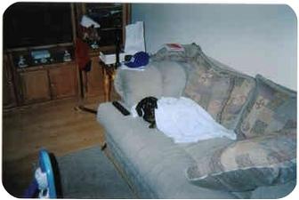 Dachshund Dog for adoption in Elon, North Carolina - Stretch