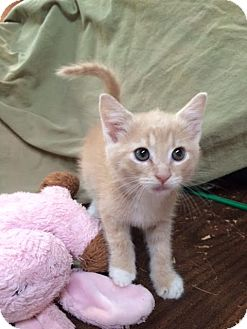 Domestic Shorthair Kitten for adoption in Jackson, Georgia - Archie Adorable Fixed!