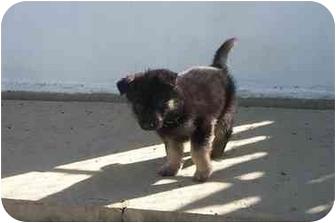 German Shepherd Dog Puppy for adoption in Oneonta, New York - Nula