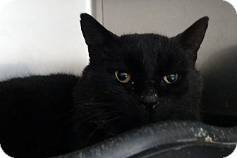 Domestic Shorthair Cat for adoption in Elyria, Ohio - Ham