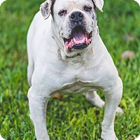 English Bulldog Dog for adoption in Miami, Florida - Lenny
