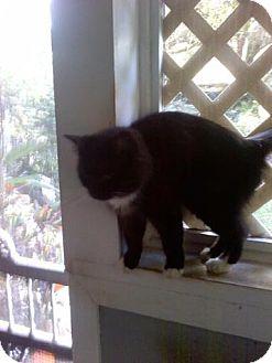 Domestic Longhair Cat for adoption in Lithia, Florida - Hannah