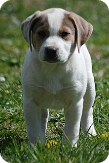 Beagle Mix Puppy for adoption in Providence, Rhode Island - Sven