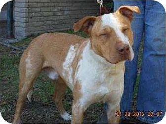 Labrador Retriever/Terrier (Unknown Type, Medium) Mix Dog for adoption in Kingwood, Texas - Dominic