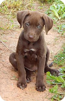 Labrador Retriever/Husky Mix Puppy for adoption in Williamsport, Maryland - Chocolate(6 lb) Green Eyes!
