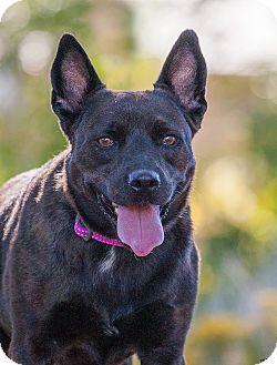 Cattle Dog/Schipperke Mix Dog for adoption in Washoe Valley, Nevada - Mishka