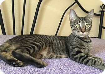 Domestic Shorthair Cat for adoption in Plano, Texas - HALLE - SWEET EXOTIC TEEN MOM!