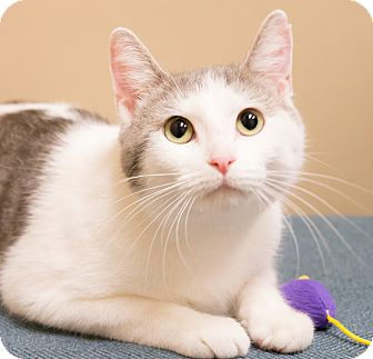 Domestic Shorthair Cat for adoption in Chicago, Illinois - Skittles