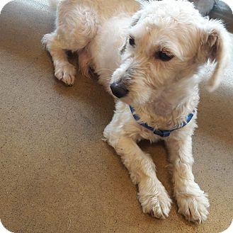 Maltese/Poodle (Miniature) Mix Dog for adoption in LAKEWOOD, California - Berno