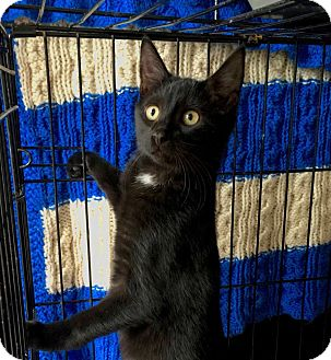 Domestic Shorthair Kitten for adoption in Smithtown, New York - Cedric