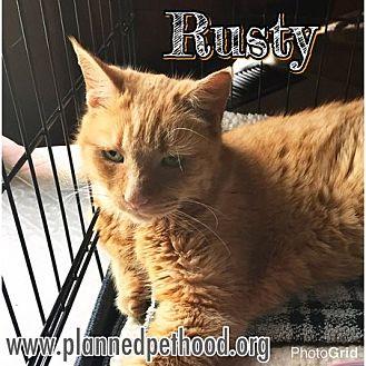 Domestic Shorthair Cat for adoption in Toledo, Ohio - Rusty