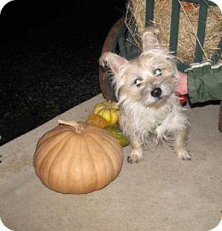 Cairn Terrier Dog for adoption in Winfield, Pennsylvania - Simba