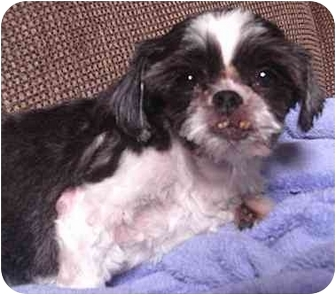 Shih Tzu/Poodle (Toy or Tea Cup) Mix Dog for adoption in Nashville, Tennessee - Precious- Rescued