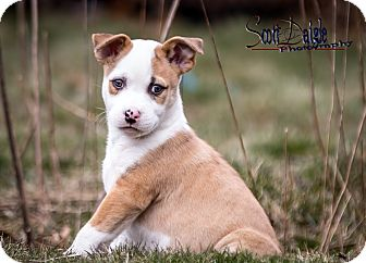 Pit Bull Terrier Mix Puppy for adoption in Mansfield, Massachusetts - Chloe- Adoption pending